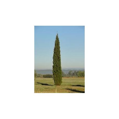 huile essentielle cyprès de Provence