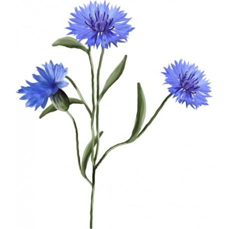 Hydrolat de bleuet