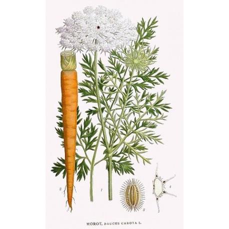 huile essentielle carotte sauvage