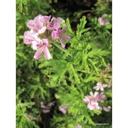 Huile essentielle Geranium Rosat