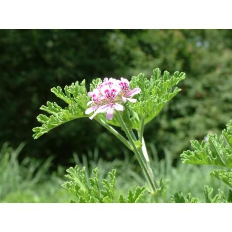 Hydrolat de geranium rosat